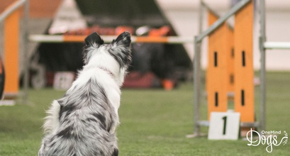 Human's vs. Dog's Point Of View In Agility