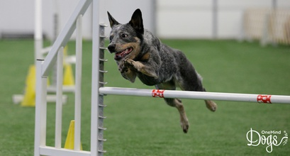 A Variety of Breeds Training Agility