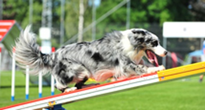 Your Agility Dog Is An Athlete
